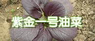 高品质特菜品种:紫金一号油菜
